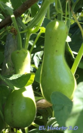 Frutos en crecimiento