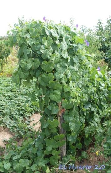 Planta con una elevada capacidad trepadora