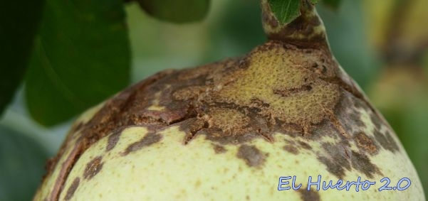 Costra creada por el hongo en la superficie de la pera