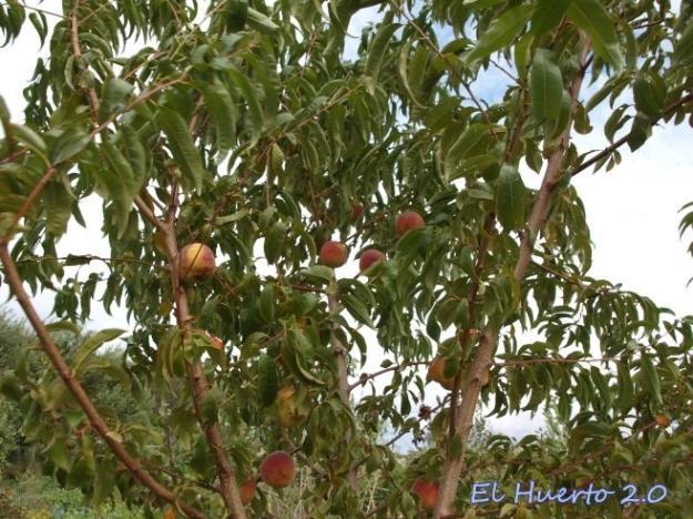 No demasiados melocotones en el árbol