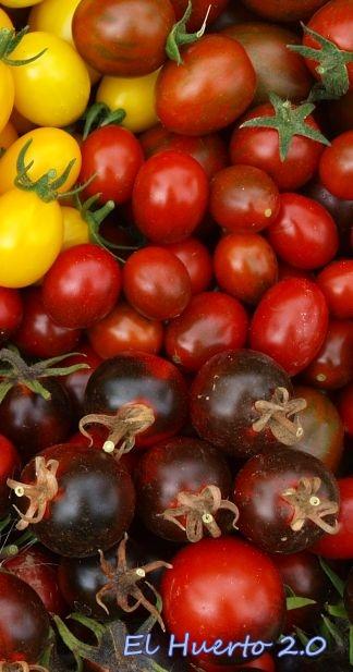 Diferentes variedades de tomates de pequeño tamaño