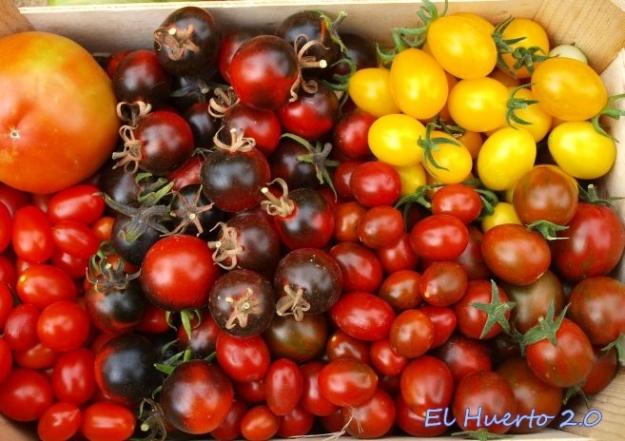 Algunos de los tomates de pequeño tamaño cultivados