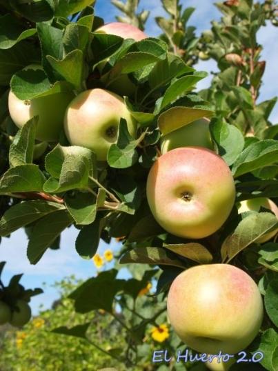 Manzana verde Doncella con la piel limpia