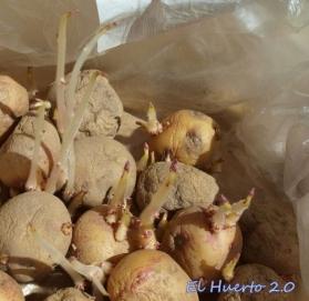 Patata Bonita germinando