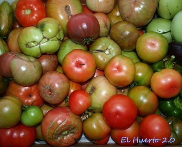 Caja con algunos de los tomates recogidos hoy