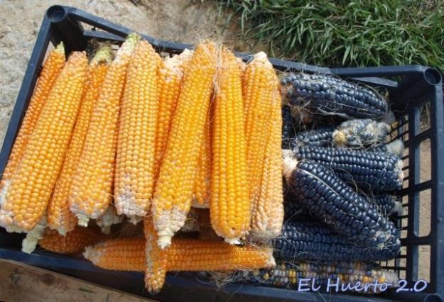 Caja con maíz de palomitas y azul