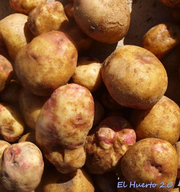 Patata Ojo de Perdiz, portuguesa