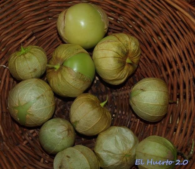 Tomatillos verdes antes de su uso