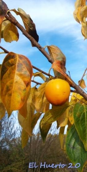 Fruto colgando de las ramas