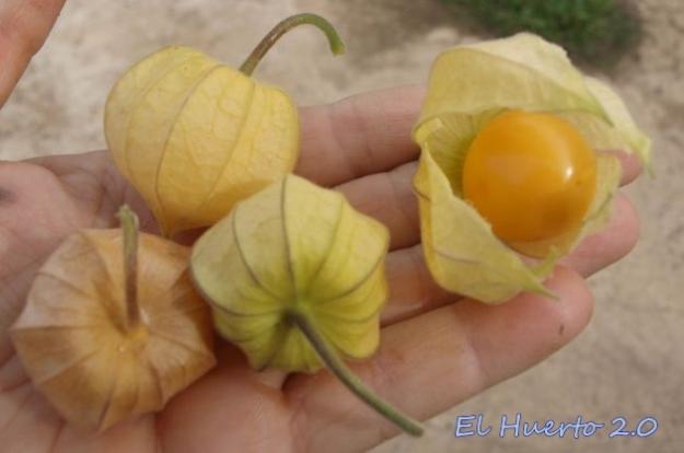 Primeros frutos