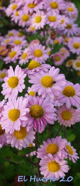 Crisantemos en rosa