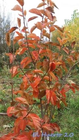 Caqui sharoni en otoño