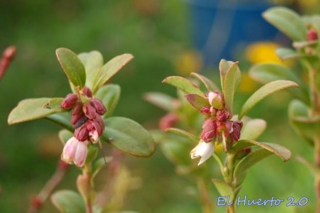 Flores del Uñi