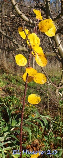 Hojas amarillas en este manzano joven