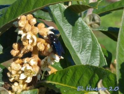 Xylocopa violacea de la madera, o de la paja