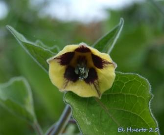 Flor de la Uchuva