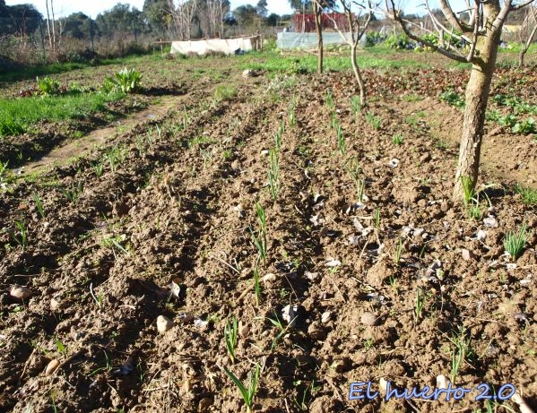 Cultivo principal de ajos