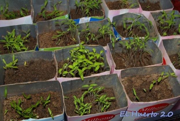 Semilleros de tomates y pimientos variados