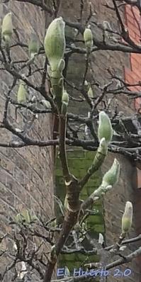 Brotes de magnolia de hoja caduca