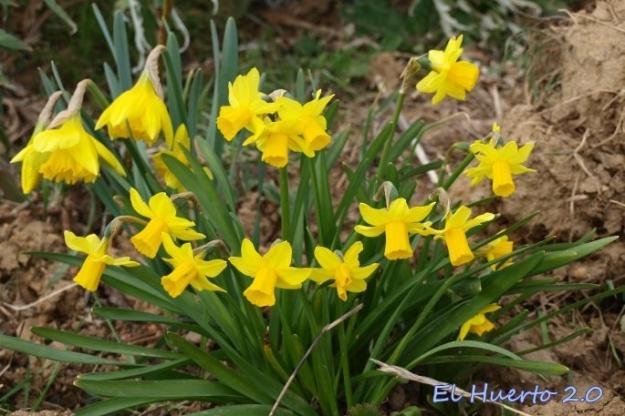 Narcisos en el huerto, los más avanzados