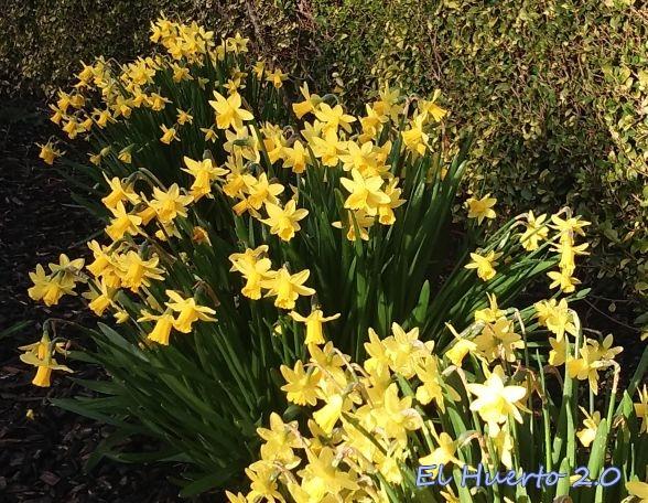 Narcisos en flor en Dublin