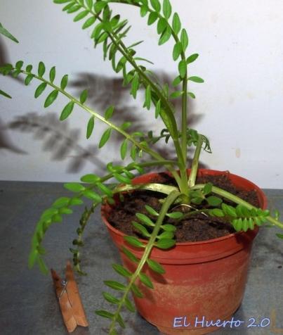 Buen crecimiento, con un tallo dominante