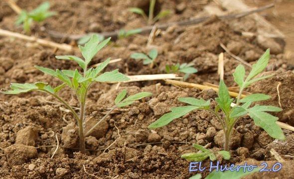 Plántulas sembradas en el mes de enero