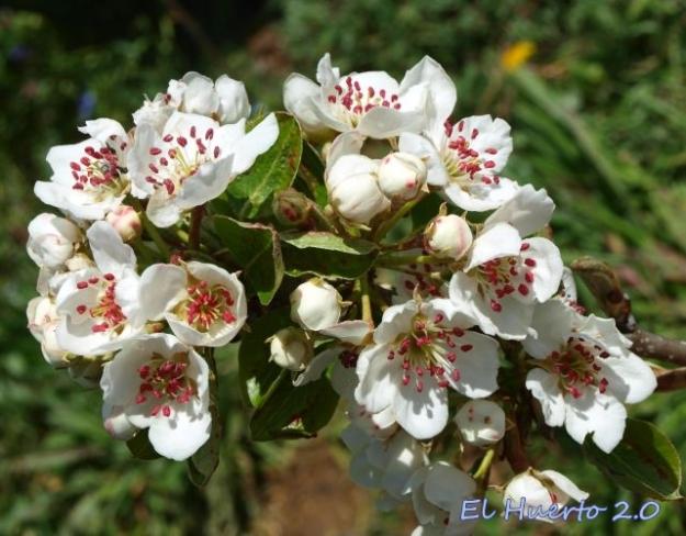 Flores de peral sonre Espino