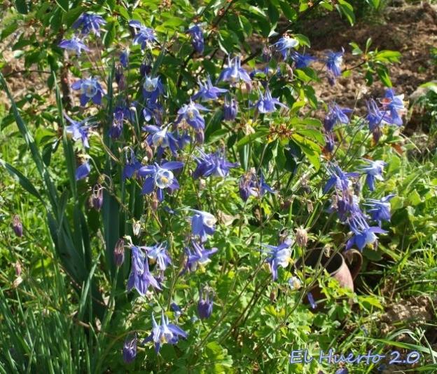 De flor azul