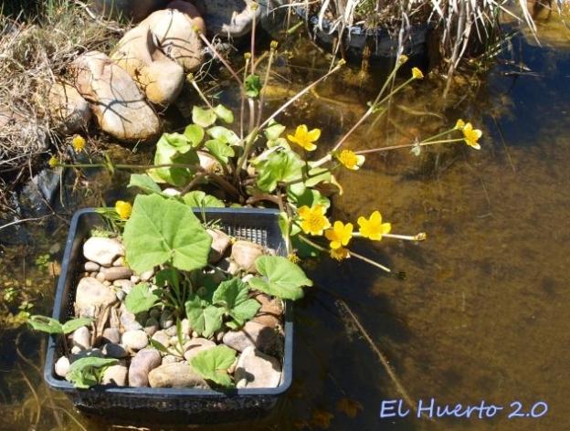 Calta palustris y Petasites hybridus