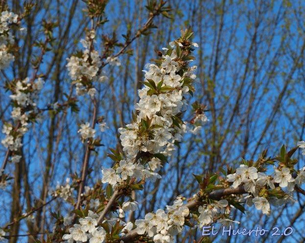 Primeras flores del primer cerezo en flor
