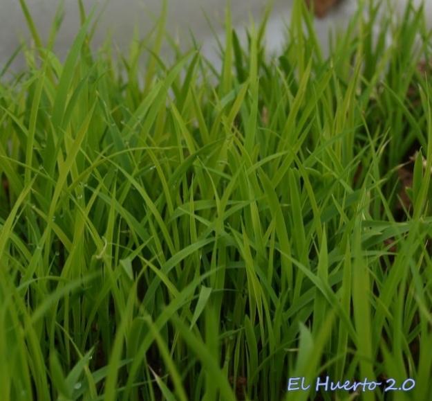 Semillero de arroz