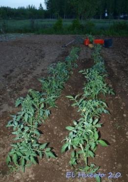 Plantando los primeros tomates de la temporada en el exterior