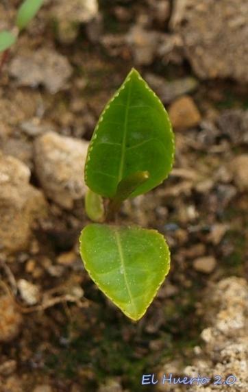 Plantula con dos hojas verdaderas