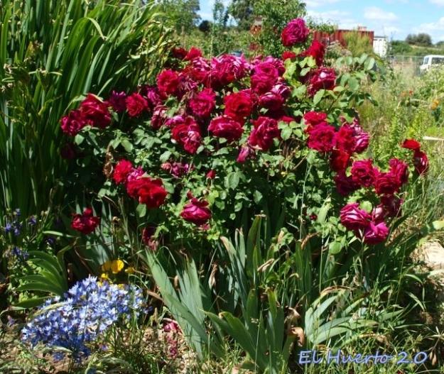 Rosas de olor junto a las Brodiaea Queen Fabiola