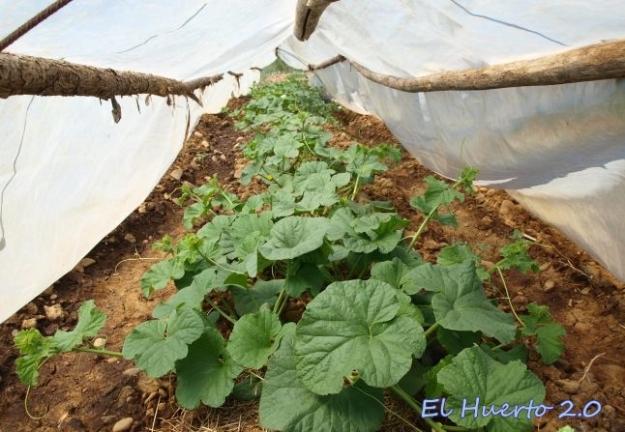 Túnel de melones a finales del mes de julio