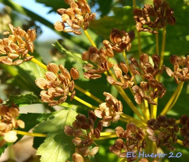 Umbela madura de Pastinaca Sativa