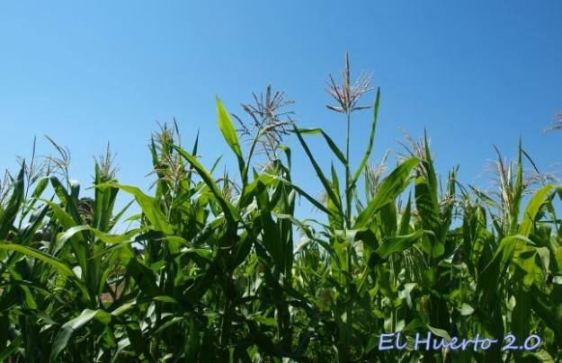 Maiz azul en flor