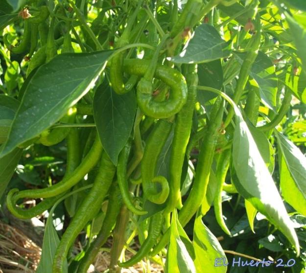 Frutos del pimentón