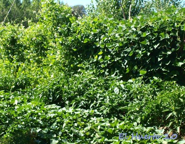 Pimientos entre las alubias verdes y los boniatos