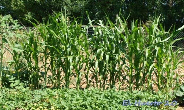 El maíz tierno se sembró el último