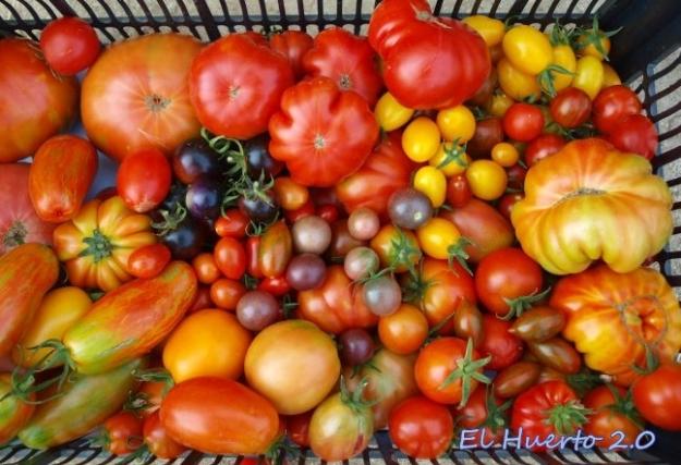 mezcla de diversos tomates de la cosecha