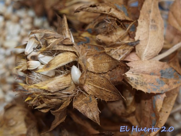 Sacando semillas