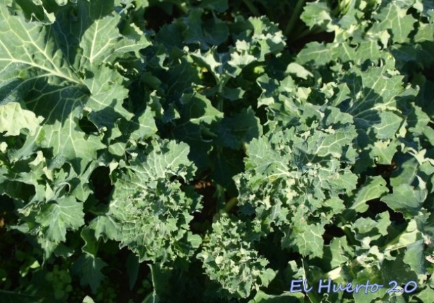 Blue Curled Scotich Kale