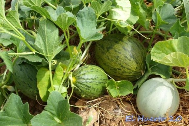 Cosecha de melones