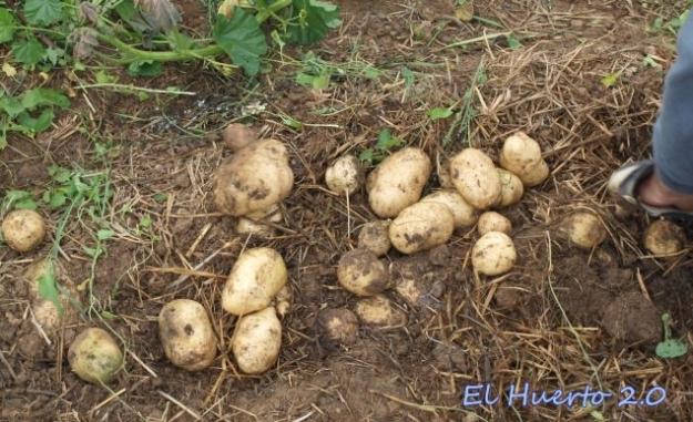 Recogiendo patata tardía