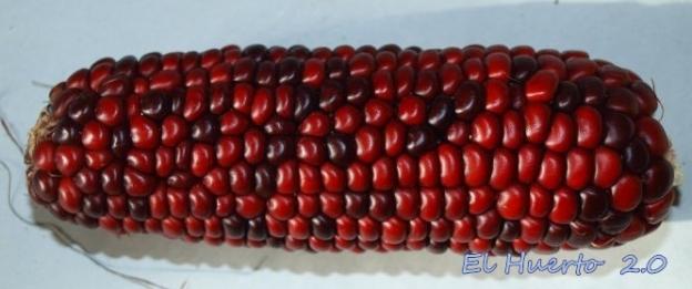 Otro tipo de maíz rojo