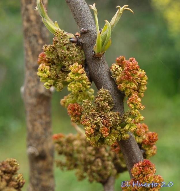Final de la floración del macho de pistacho