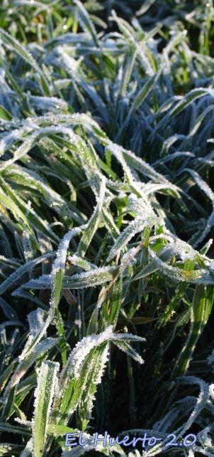 Hierba bajo el hielo