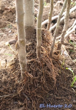 Retirada la tierra aparecen las raíces